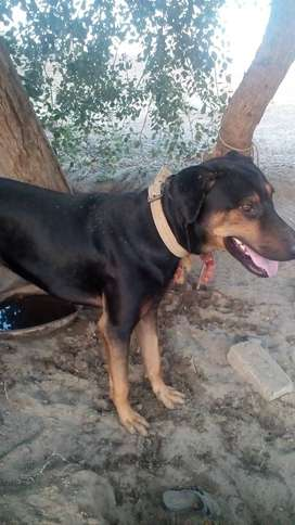 A young Dobermann for sale