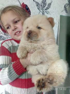 Chow chow Male puppy