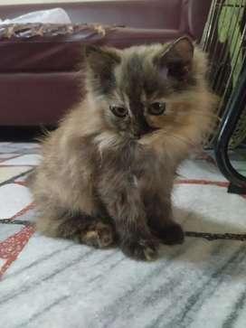 Kitten Persia lebat