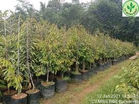 Bibit Durian Bawor Tinggi 2 Meter Lokasi Purworejo
