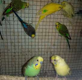 Australian Budgies, Common Budgies Males For Sale, Exchange