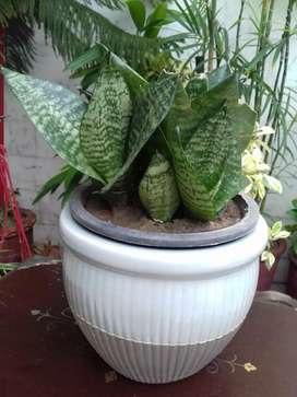 imported Dwarf snake plant with three babies