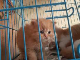 Doll face kittens available