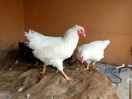 Rir heritage rodhe white fertile eggs for sale