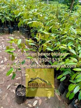 Bibit durian bawor okulasi tinggi 60-70cm