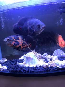 Ocsar fish for sale