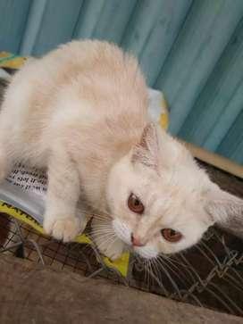 Oper adopsi Kucing persia,