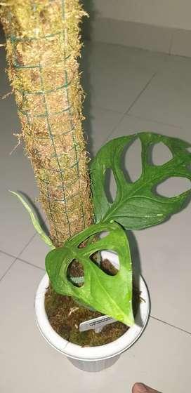 Monstera adansonii Variegata Lokal ( Janda Bolong Varigata)
