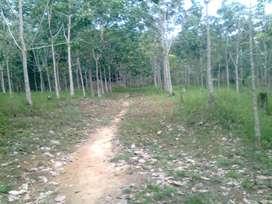 Dijual Kebun Karet Siap Sadap 1500 Pohon Luas sekitar 3 Hektar.