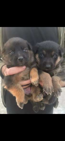 German Shepherd Male Pup -