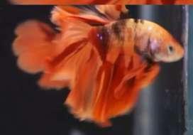 Betta fish fighter fish