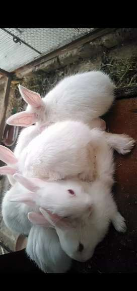white red eyes rabbits bunnies available