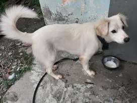 Anjing Kintamani + kandang
