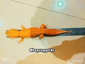 Leopard gecko Aptor 26cm jumbo (Non-Giant)