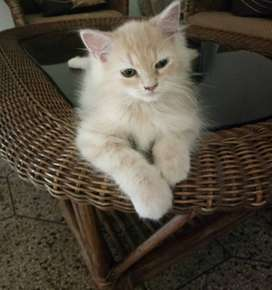 Persian kittens, different fur and eye coliur available.