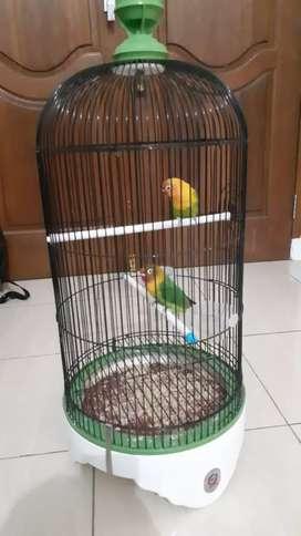 Lovebird sepasang fullset