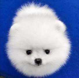 Imported Pomeranian puppy available