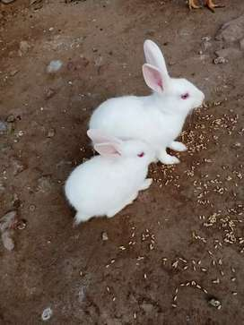 Rabits for sell
