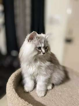 3 months old Siberian baby