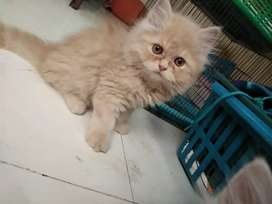 Fawn color male Persian Kittens cat available