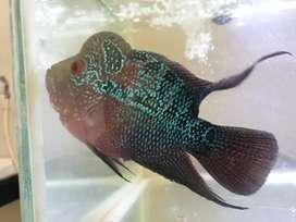 Ikan Louhan SRD Short Body Thailand