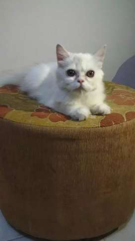 Kucing flatnose