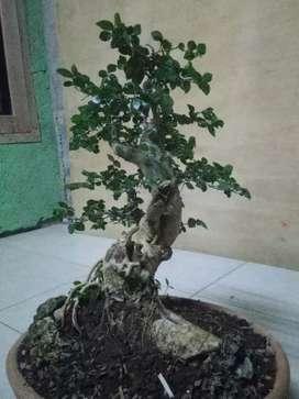 Bonsai pohon serut mantaf