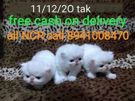 Free cash on delivery all india Persian cat sale