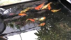 Ikan koi dan kawan2