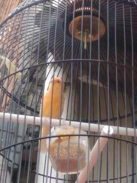Burung kenari sunkist