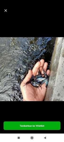 Bibit ikan patin