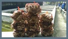 Oyster Karang Jahe Media Koi Jaring Nelayan Gombong Japmate Busa