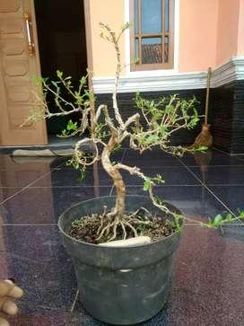 bonsai mame seribu bintang 3