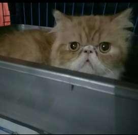 Kucing persia jantan peaknose