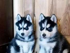 Syberian husky pup available in Black and chocolate color