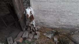 Makki chinni goat for sale