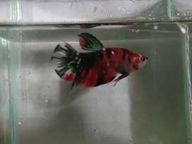 Aneka Cupang Multicolor Koi Halfmoon Crowntail