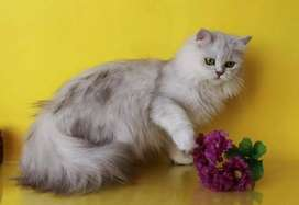 Persian kitten for sale with micro chip papers