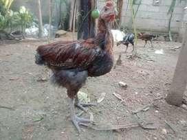 Ayam pelung  asli cianjur