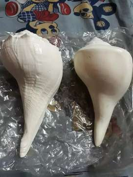 Divya Shakti White New 7 inch Conch Import from Japan Price Per Piece