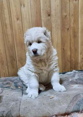 Alabai puppies available for new homes