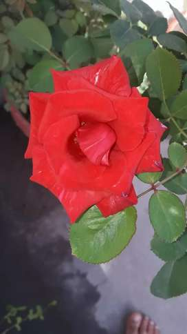 English Rose Plant for sale