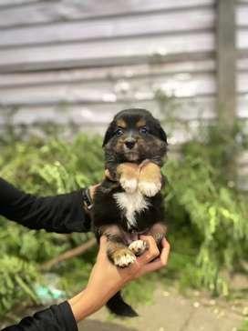 Anak anjing murah puppy super mini pom shitzu shihtzu JT