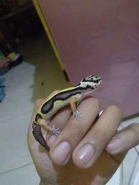 Leopard Gecko Bold Jungle