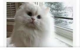 Persian cat for sell.
