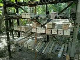 Koloni klanceng Bambu