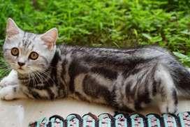 kucing american short hair/american shorthair.NO british short hair