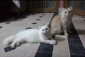 Pure Persian Punch Face Cats