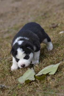 Siberian Husky Puppy (Male)