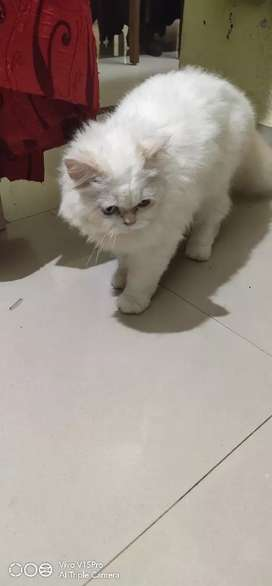 Semi punch cat male 6 month old